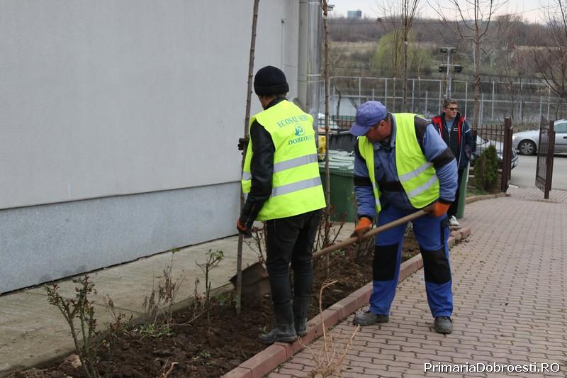 Au fost plantati 50 de arbori  in curtea scolii Nr. 1 din Dobroesti.