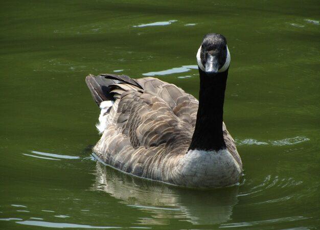 Recomandari pentru limitarea raspandiri virusului gripal aviar H5N8